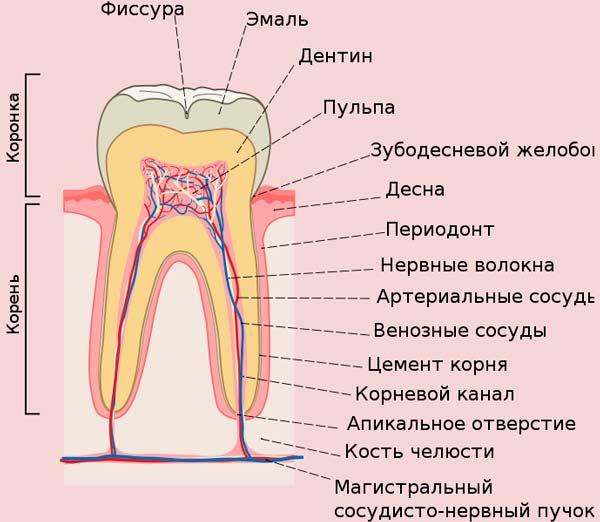 нервы и кровеносная система зуба